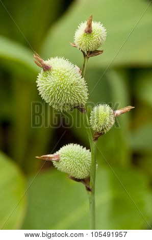 Canna Seed Pods