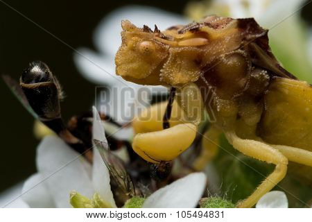 Yellow Ambush Bug Eats Small Bee On White Aster