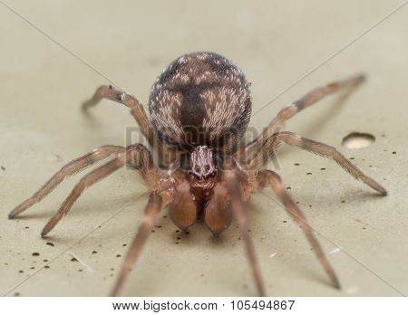 Small Brown Spider With Large Palpus