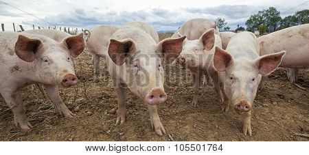Panoramic View Of Pigs