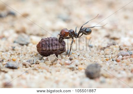 An ant carrying a seed to the colony - shallow DOF
