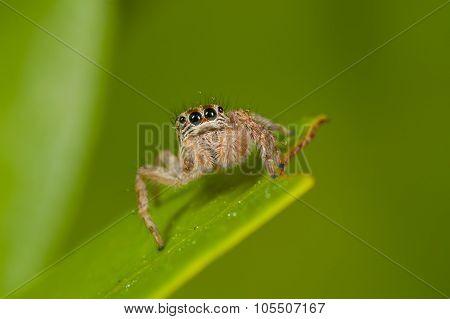 Jumper Spider On Leaf With Green Background