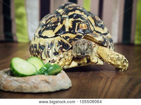 Leopard Tortoise Close Up