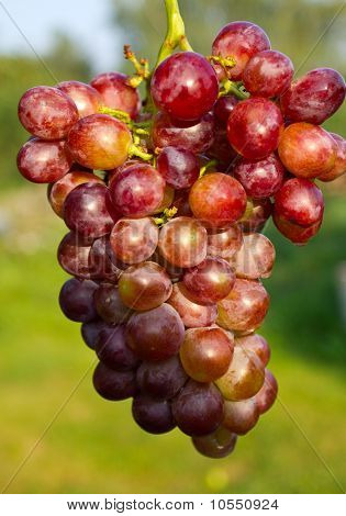 Branch Of Ripe Grapes