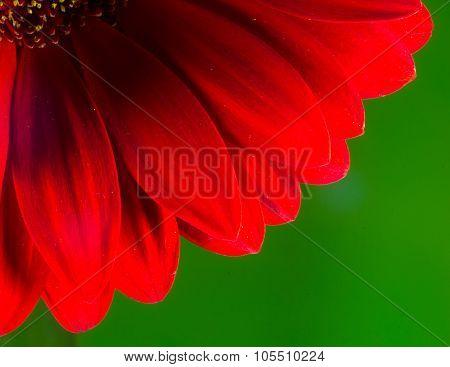 Bright Red Chrysanthemum Flower Petals And Stamen