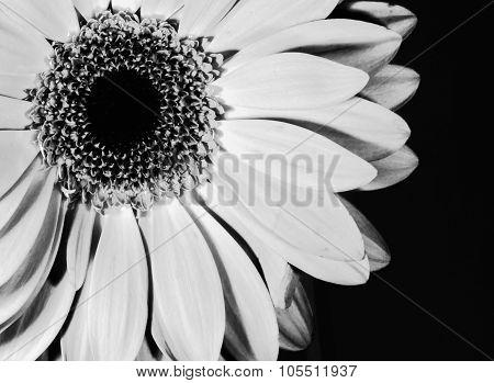 Art Style Black And White Monochrome Chrysanthemum Flower