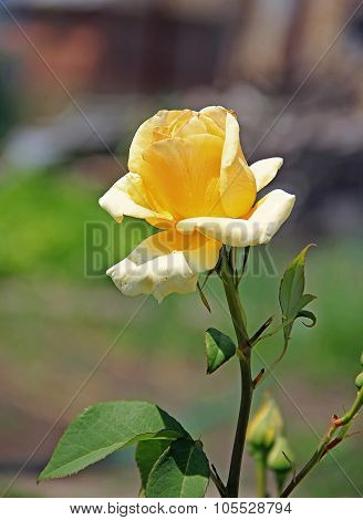Single Yellow Rose On A Stem, In The Garden, Outdoors