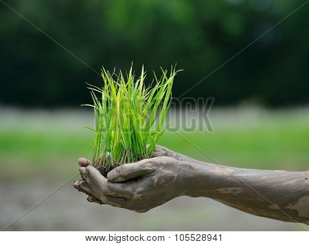 Hands holding rice sprouts