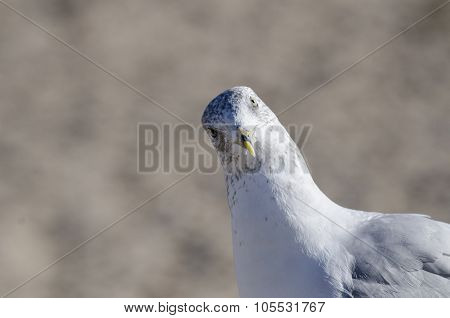 Curious Ring-billed Gull