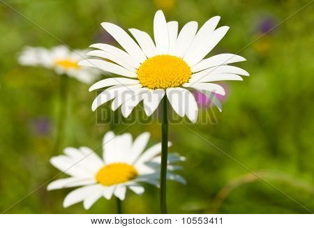 Camomile On Green Grass Background