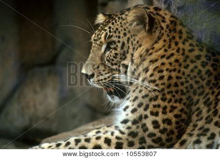 Golden Persian Leopard