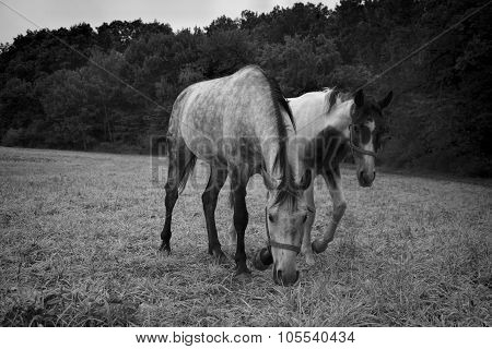 Horses grazing on a rural pasture near the forest. Livestock animals feed on farm yard, in black and