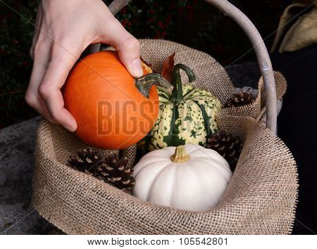 Placing A Sugar Pumpkin Into A Basket With Other Gourds