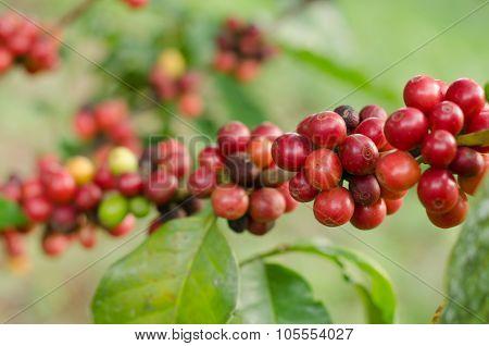 Coffee Beans Growing On Tree