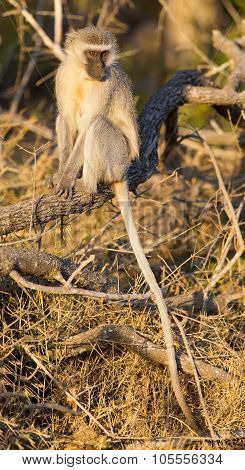 Vervet Monkey Sitting On Log With His Long Tail Hanging Down
