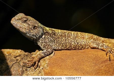 Blue Headed Agama Lizard Basking On A Rock