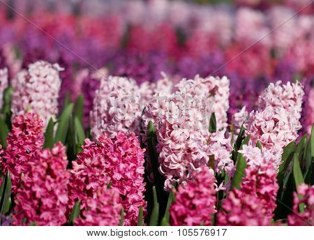 Many Colorful Hyacinths Growing Under The Spring Sunlight In The Park