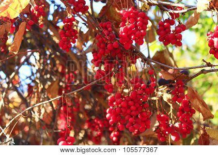 Big Branches Of Schisandra