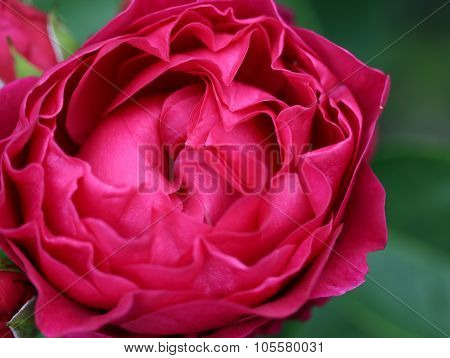 The Bright Soft Rose Macro Shot