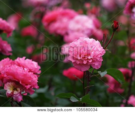 The Bush With Bright Rose Flowers