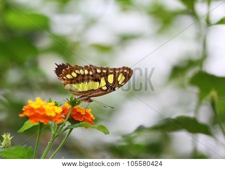 The Brown With Yellow Spots Butterfly Sitting On Orange Flower