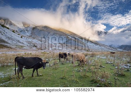 Herd of cows in a pasture in the mountains. Autumn landscape with the first snow. Mountain Shkhara in the clouds. Main Caucasian ridge. Zemo Svaneti, Georgia