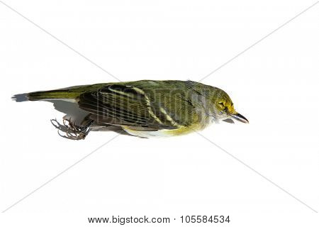Found Dead but still beautiful Female Black-throated Green Warbler.  isolated on white Order- PASSERIFORMES  Family - Wood-Warblers - Parulidae