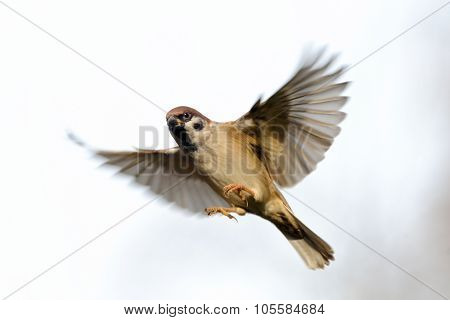 Isolated Flying Tree Sparrow At White Background