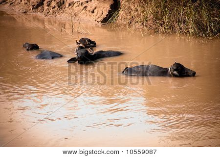 Buffalo in water