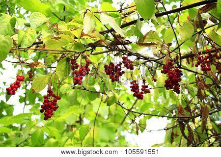 Branches Of Schisandra