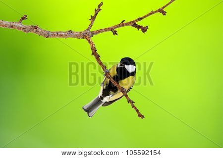 Great tit (Parus major) on green bokeh background