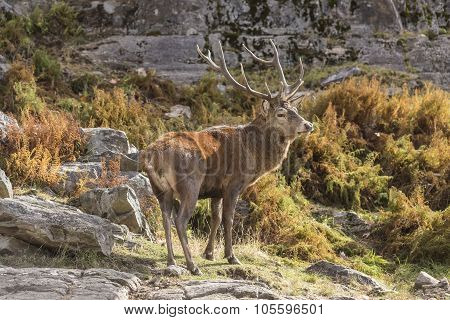 A large, lone Wapiti in a rocky setting during fall