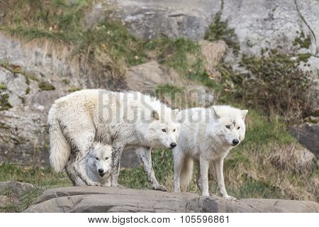 Arctic Wolves at play
