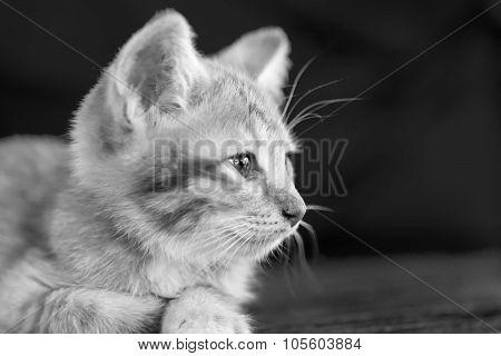 Doubtful Oragne Little Kitten  Cat Lie On Wooden Floor Closeup Black And White