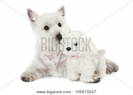 West Highland White Terrier Puppy With A Toy