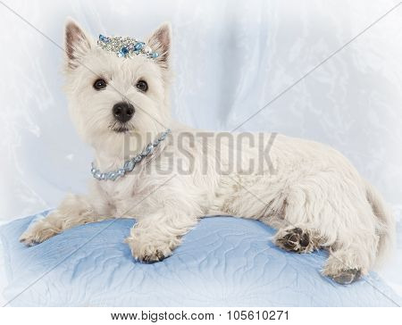 West Highland White Terrier Puppy Rest On A Pillow