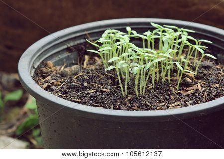 Closeup Of Small Hot Pepper Saplings In Pots.