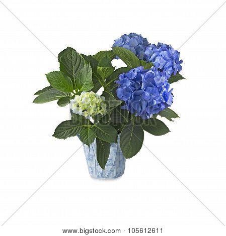 Blue Hortensia (hydrangea) On White Background