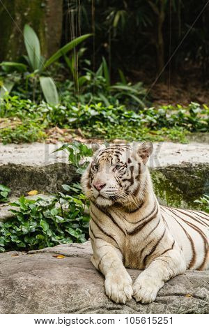 Shot of a White Tiger resting