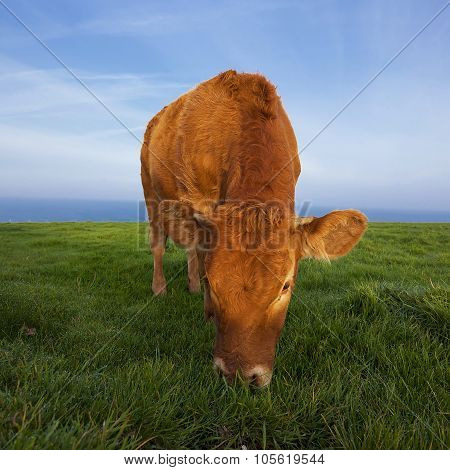 View Of Grazing Cow