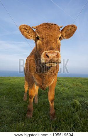 Vertical Portrait Of Brown Cow