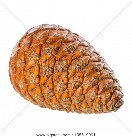 Cedar Pine Cone Is Isolated On White Background, Closeup