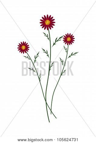 Red Daisy Blossoms on A White Background