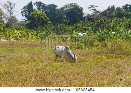 Light cow grazes in a field in India