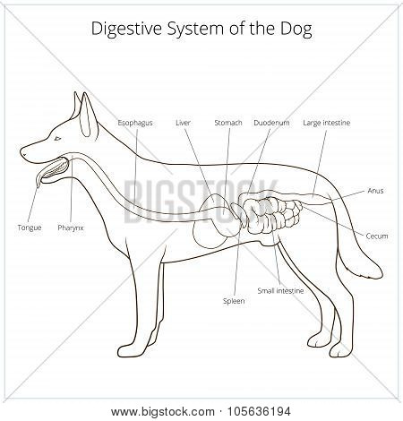 Digestive system of the dog vector illustration