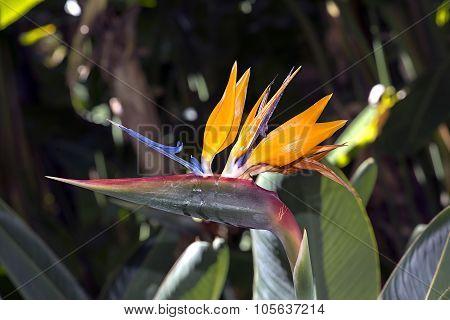 Flower Strelitzia Reginae