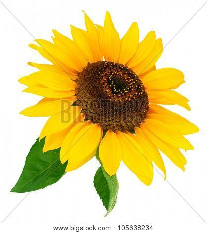 Flower sunflower with green leaf. Isolated on white background. Illustration