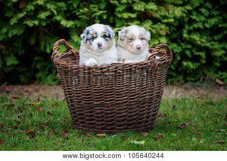 Two Australian Shepherd Puppies In Wicker Basket On Garden Grass