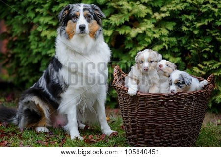 Australian Shepherd Puppies In Wicker Basket On Garden Grass