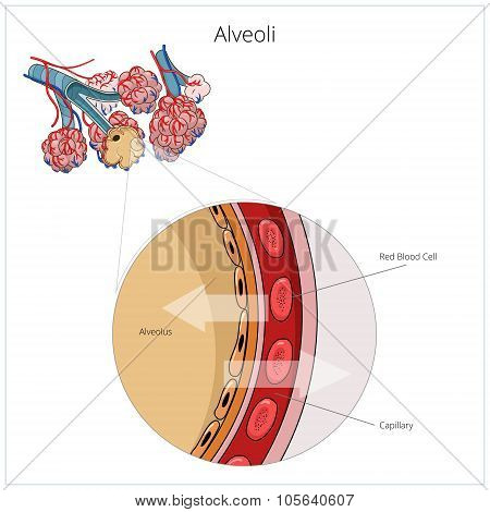 Alveoli vector illustration